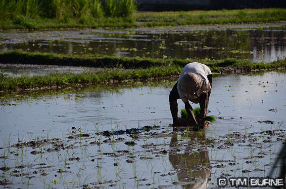 Planting Rice in Bali's Paddy Fields
