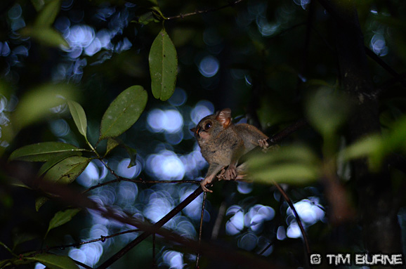 Tarsiers - one of the worlds smallest monkeys