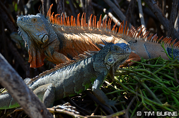 Iguanas at La Ventanilla - Oaxaca