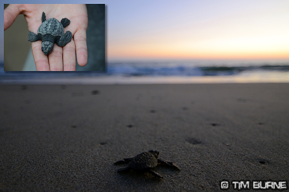 Releasing baby turtles – La Ventanilla Beach, Oaxaca