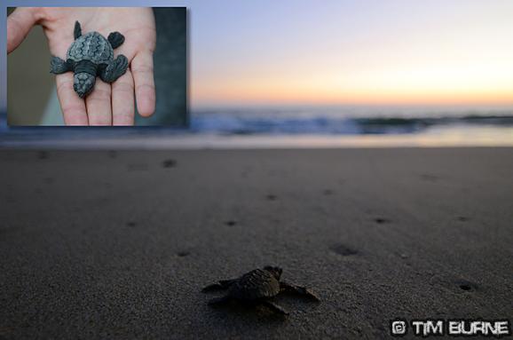 Releasing baby turtles – La Ventanilla Beach, Oaxaca